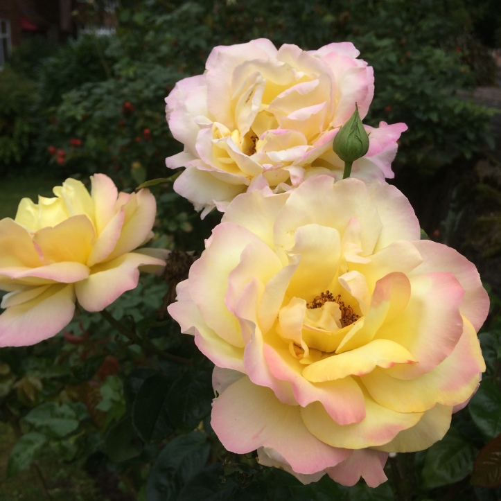 Roses August17