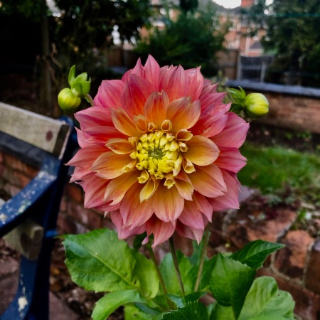 Pink dahlia with yellow centre